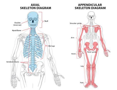 appendicular skeleton diagram 1 1 the skeletal system ib sehs notes
