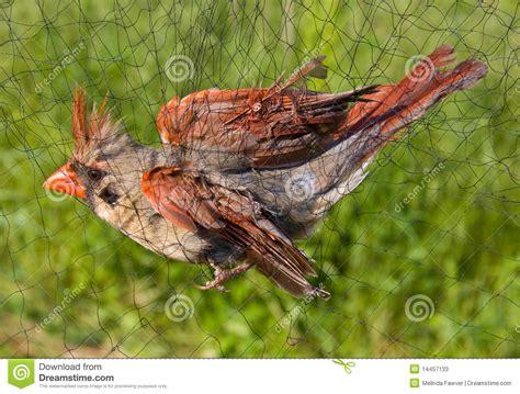 riproduzione cardellini di cattura in gabbia l uccello ha catturato nella rete immagine stock
