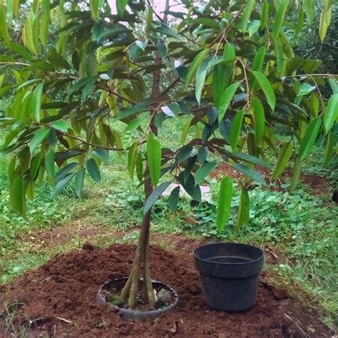 Harga Bibit Durian Bawor Kaki 3 bibit durian kaki tiga unggul monthong bawor musangking
