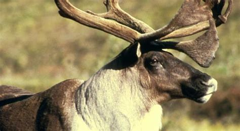 basic facts  woodland caribou defenders  wildlife