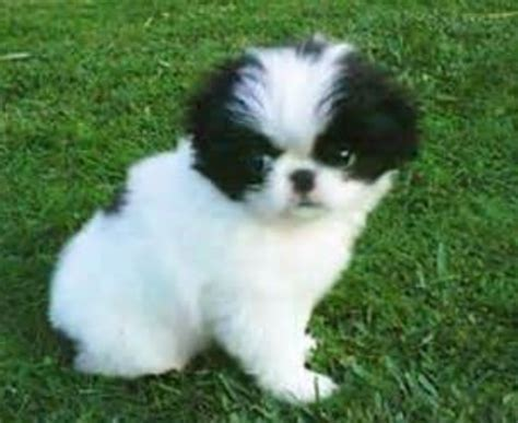 japanese chin puppy white japanese chin puppy with black patterns on its standing on the grass png