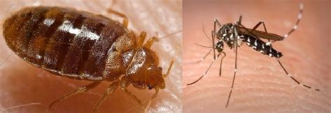 mosquito bites or bed bug buffet loyaltylobby