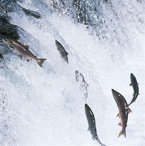 protein in salmon salmon protein powder supplements mr supplement australia