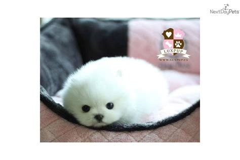 marshmello dog video video meet marshmallow a cute pomeranian puppy for sale
