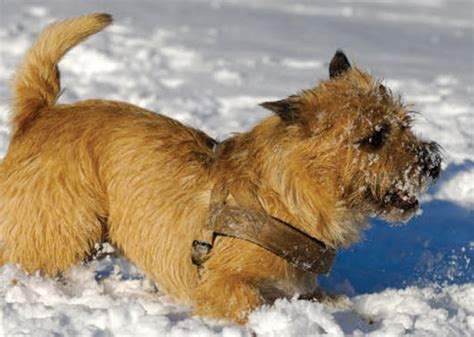 do cairn terriers get their hair cut or shaved learn about the cairn terrier dog breed from a trusted