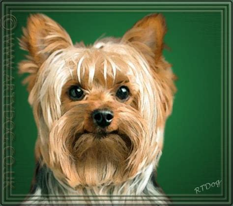 personality of yorkies personality of terrier breeds picture