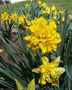 Not often seen a triple daffodil the center trumpet is really a