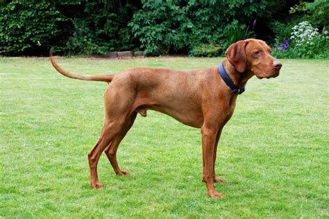 hungarian vizsla puppy superb hungarian vizsla puppies chester cheshire pets4homes