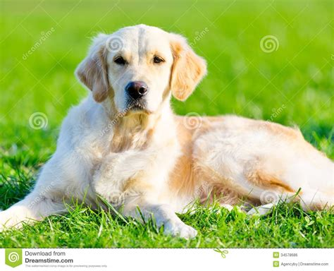 cost of a purebred golden retriever purebred golden retriever dogs in our photo