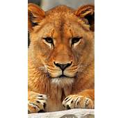 Lion IPhone 6 Wallpapers HD And 1080P Plus