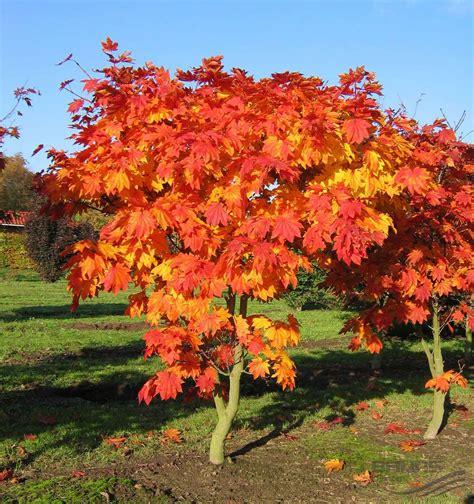acer japonicum vitifolium tree acer japanese maple backyard landscaping