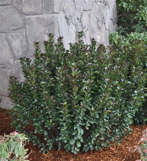 plants that grow in complete darkness 17 best images about beautiful broadleaf evergreens on