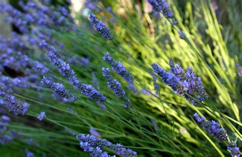 most fragrant lavender plants daily home garden tip make the most of fragrant plants