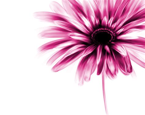 gerber daisies drawing www imgkid com the image kid