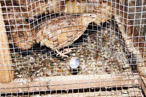 Bibit Jambu Air Bantul kotoran puyuh jadi biogas bebeja