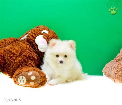 tiny teacup pomeranian puppies for sale in ohio 141 best images about teacup pomeranian puppies for sale on