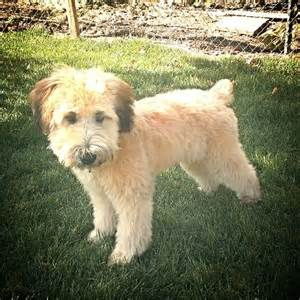 hair styles cuts for wheaten terriers pin by mariah wickham on griffin the soft coated wheaten