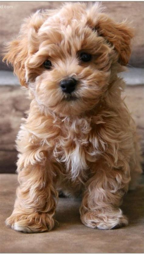 puppy teddy the 25 best ideas about teddy dogs on teddy puppies small