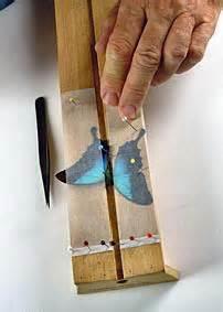 cassetta entomologica preparazione insetti