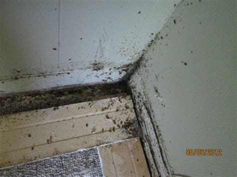 detecting bed bugs bed bug detection in staten island bed bug finders llc