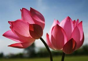 How To Do The Lotus Lotus For A Few Summers More
