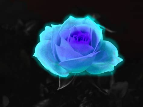 fire and ice rose ice rose wallpaper blue fire