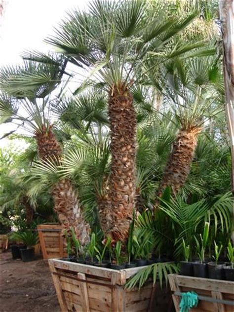 blue mediterranean fan palm for sale large specimen palm trees and cycads