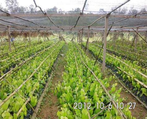 Kebun Bibit Tanaman Dendrobium Schulleri Berkualitas cyber extension kementerian pertanian pusat penyuluhan pertanian badan penyuluhan dan