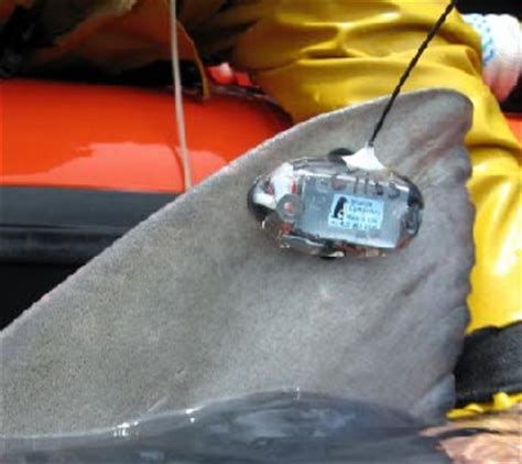 shark tracking devices