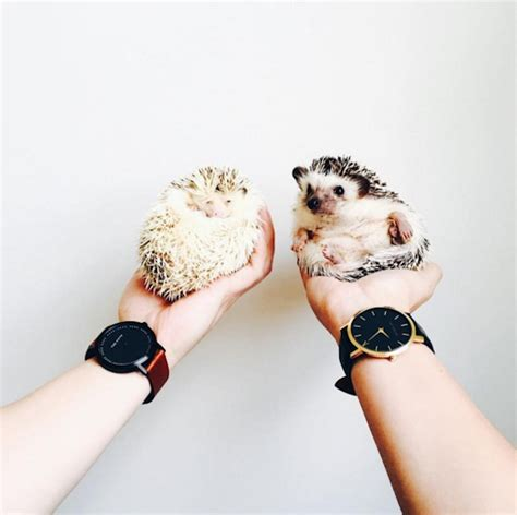 designtaxi instagram adorable images of little hedgehogs on this instagram will