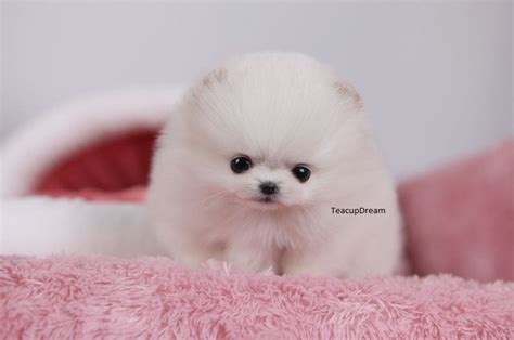 grown micro teacup pomeranian 84 best images about micro teacup pomeranians on rick and i want and