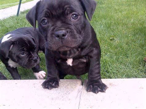 pug staffy cross puppies bulldog cross staffordshire bull terrier breeds picture