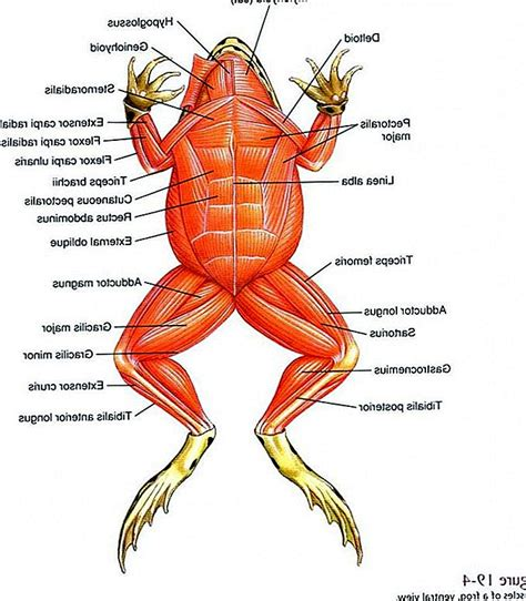 duck body parts diagram frog internal diagram zoology external