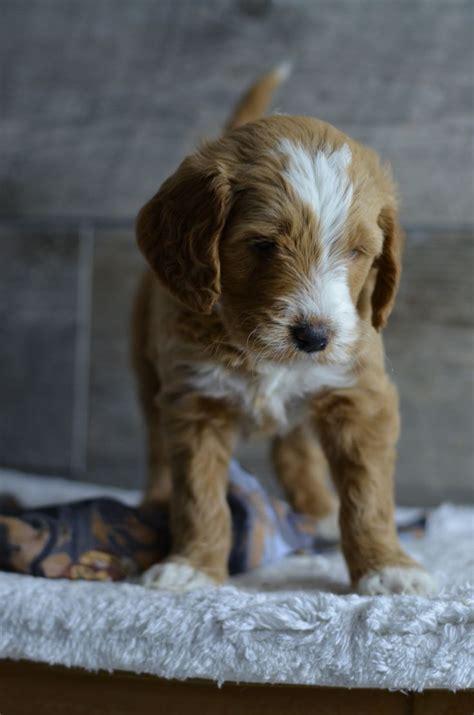 mini goldendoodle iowa f2b mini golden doodle puppies born 10 02 14 ready for