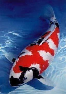 foto tato ikan koi foto ikan hias koi cantik dan unik alam mentari