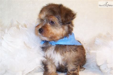 are yorkie poos hypoallergenic yorkiepoo yorkie poo puppy for sale near st louis missouri a3bedc88 e381