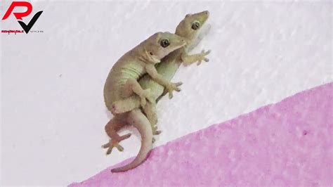 House Gecko Mating Amazing Video Youtube
