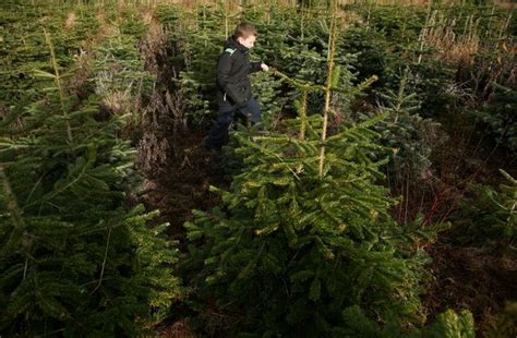 ideas about live christmas trees for sale near me easy