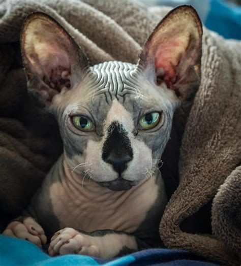 Donskoy or Don Sphynx Cat Pictures and Information   Cat
