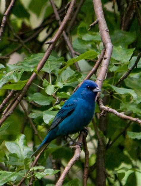 indigo bunting birds of a feather pinterest