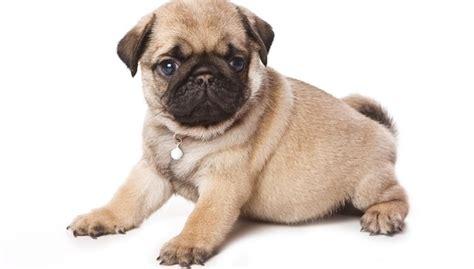 cagnolini da appartamento le 10 migliori razze di cani