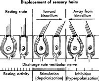 hair sensory hairs definition of sensory hairs by the otology 3 dnbhelp