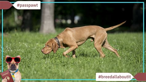breeds starting with v breed all about it breeds starting with v vizsla