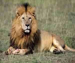 sognare una tigre in casa il nei sogni cosa significa sognare un