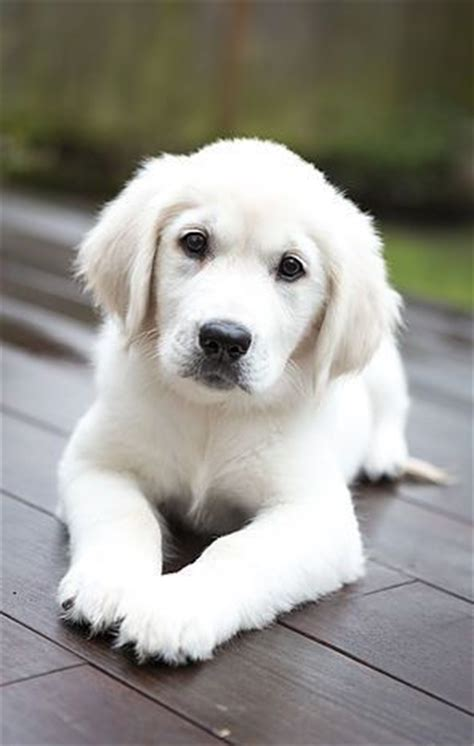golden retriever puppies white best 25 white puppies ideas on