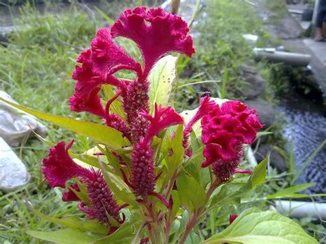 Tanaman Jengger Ayam Merah Jumbo tanaman hias contoh tanaman hias yang tahan cuaca panas
