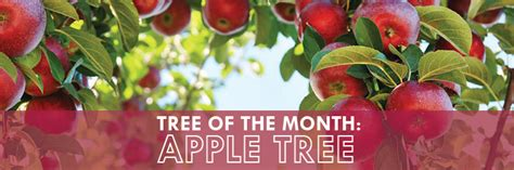 Franchise Apple Tree tree of the month apple tree