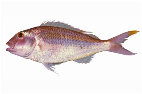 Termurah Fish All Ph Up bisugo fishingph