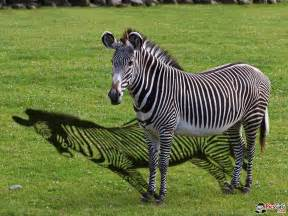 zebra funny wallpaper with funny shadow and this funny zebra smile you