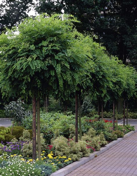 robinia standard trees for small gardens google search